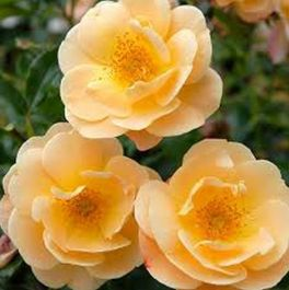 'Flower Carpet Amber' Ground Cover Rose - 4L Pot