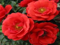 'Flower Carpet Scarlet' Ground Cover Rose - 4L Pot