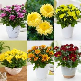 6 x Chrysanthemum Plants | Golden Sunset Collection | 10.5cm Pots