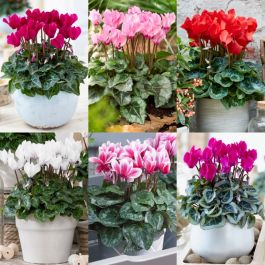 6 x Cyclamen Plants | Romantic Vista Collection | 10.5 cm Pots
