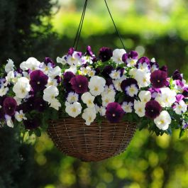 'Berries 'n Cream' Speed Planter for Hanging Baskets | Pansy Cool Wave®