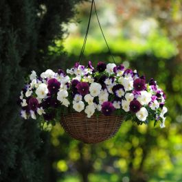 'Berries 'n Cream' Hanging Basket Speed Planter | Pansy Cool Wave®