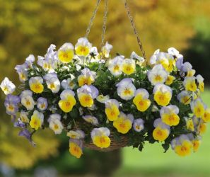 'Blueberry Swirl' Hanging Basket Speed Planter | Pansy Cool Wave®