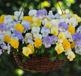 'Pastel Mix' Speed Planter for Hanging Baskets | Pansy Cool Wave®