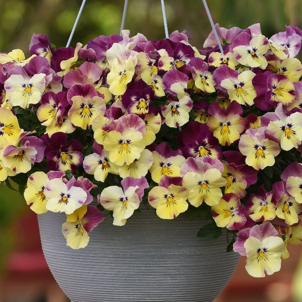 'Strawberry Swirl' Speed Planter for Hanging Baskets | Pansy Cool Wave®