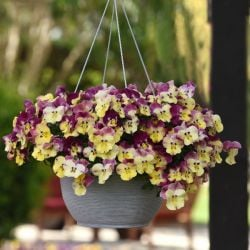 'Strawberry Swirl' Hanging Basket Speed Planter | Pansy Cool Wave®