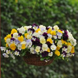 Pansy Cool Wave® Mixed Hanging Basket Speed Planter