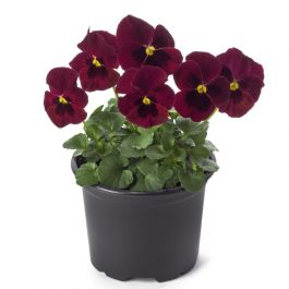 Pansy 'Red Blotch' | 10.5cm Pot