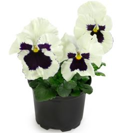 Pansy 'White Blotch' | 10.5cm Pot