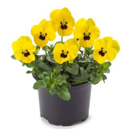 Pansy 'Yellow Blotch' | 10.5cm Pot