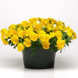 Pansy 'Golden Yellow' | 10.5cm Pot | Pansy Cool Wave®