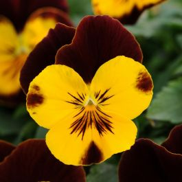 Pansy 'Red Wing' | 10.5cm Pot | Pansy Cool Wave®