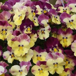 Pansy Cool Wave® 'Strawberry Swirl' | 10.5cm Pot