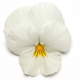 Pansy 'White' | 10.5cm Pot | Pansy Cool Wave®
