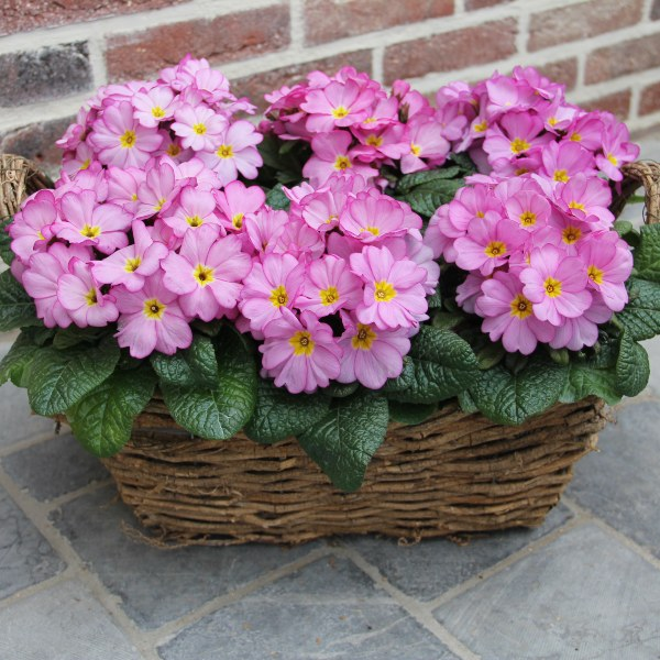 Primrose 'Woodland Rose' | 10.5cm Pot