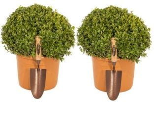Pair of 25-30cm Premium Buxus Topiary Ball By Primrose® - 'Buxus Microphylla Faulkner' 5L Pots