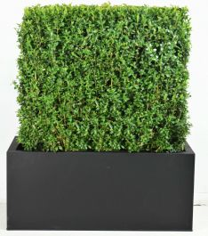 Premium Buxus Instant Hedge Zinc Trough By Primrose