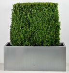 Large Premium Buxus Instant Hedge Zinc Trough By Primrose