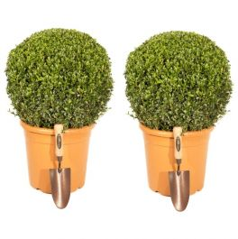 Pair of 30-40cm Premium Buxus Topiary Ball | 10L Pot