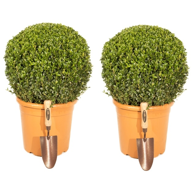 Pair of 30-40cm Premium Buxus Topiary Ball By Primrose™ - 10L Pot