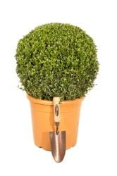 30-40cm Premium Buxus Topiary Ball By Primrose™ | 10L Pot