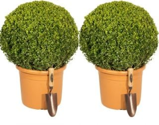 Pair of 50-60cm Premium Buxus Topiary Balls | 17L Pot