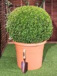60-65cm Topiary Ball (Buxus) By Primrose®