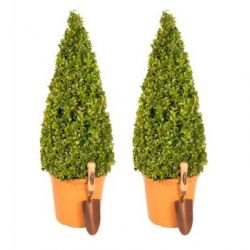 Pair of 80-90cm Premium Buxus Topiary Pyramid | 7.5L Pots
