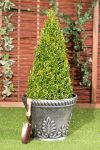 75-80cm Topiary Cone (Buxus) By Primrose®