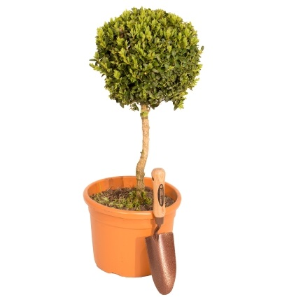 50-60cm Topiary Tree Lollipop (Buxus) By Primrose™