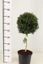 2.5ft Topiary Tree Lollipop (Buxus) By Primrose™