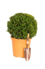 35-45cm Yew Topiary Ball (Taxus) By Primrose®
