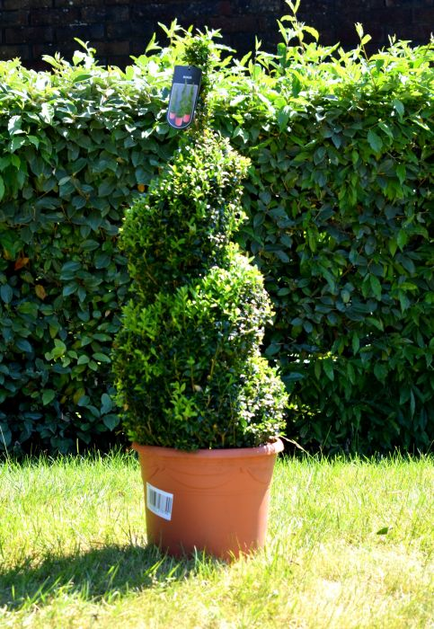 70-80cm Topiary Buxus Spiral By Primrose™