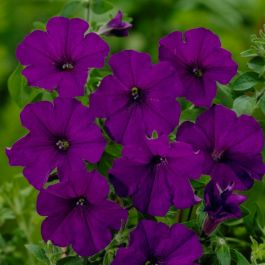 3x Petunia Surfinia 'Purple' | 9cm Pots