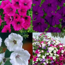 6 x Surfinia Petunia Plants | Summer Colours Collection | 9cm Pots