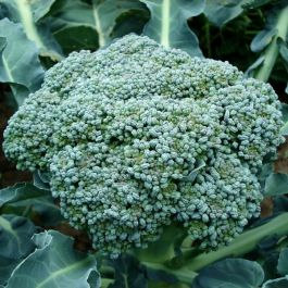 Green Sprouting' Calabrese Plants | 10 Plants | By Plant Theory