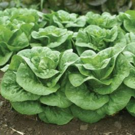Lettuce 'Winter Density'  | 10 Plants | By Plant Theory
