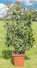 4ft Photinia Trellis | 18L Trough | Photinia serrulata 'Red Robin'