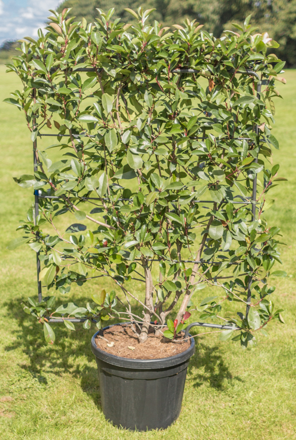 5ft Photinia Trellis | 45L Trough | Photinia serrulata 'Red Robin'