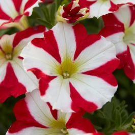 Petunia 'Amore King of Hearts' | Pack of 5 Plug Plants