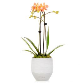 35cm Sunset Orange Orchid With Ceramic Pot | By The Little Botanical™