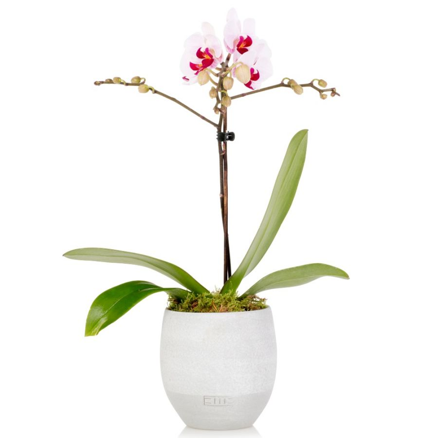 35cm White Orchid With Ceramic Pot | By The Little Botanical™