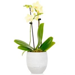 35cm Yellow Orchid With Ceramic Pot | By The Little Botanical™