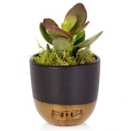 Mini Jade Plant With Black & Gold Pot | Mini Crassula | By The Little Botanical™