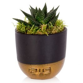 Big Band Zebra Cactus With Black & Gold Pot | Mini Haworthia Fasciata | By The Little Botanical™