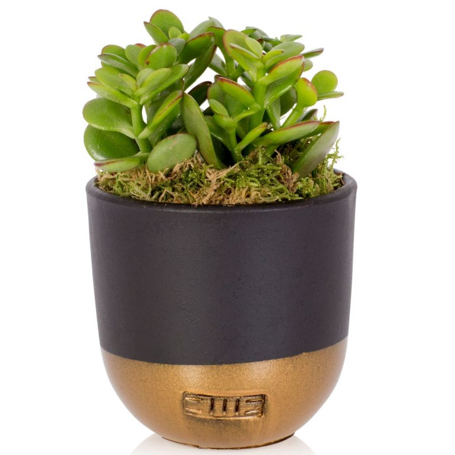 Jade Plant With Black & Gold Pot | Crassula | By The Little Botanical™