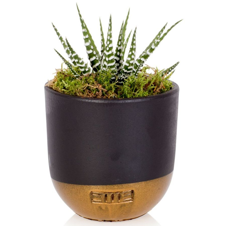 Big Band Zebra Cactus With Black & Gold Pot | Haworthia Fasciata | By The Little Botanical™