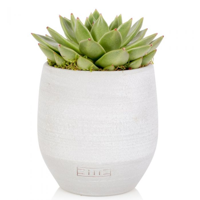 Echeveria Miranda With White Pot | By The Little Botanical™