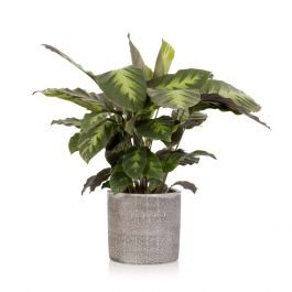 35cm Calathea With Ceramic Pot | By The Little Botanical™
