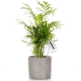 35cm Parlor Palm With Ceramic Pot | Chamaedorea Elegans | By The Little Botanical™